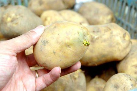 Không nên ăn khoai tây mọc mầm