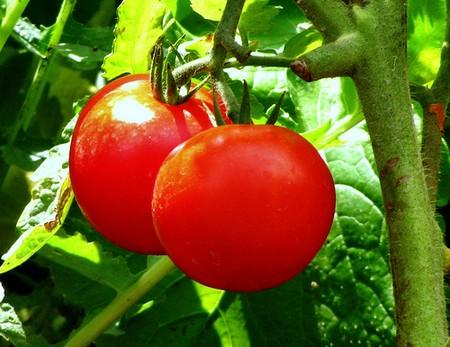 Quả cà chua còn có tác dụng điều trị một số bệnh