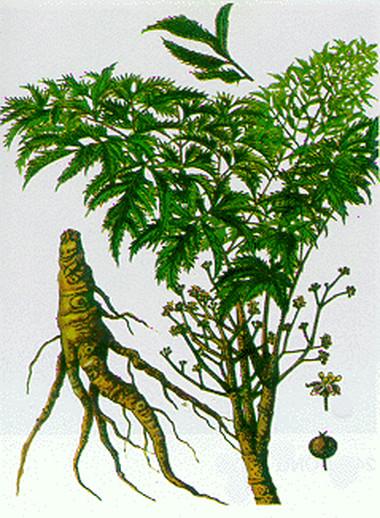 Rễ đinh lăng  có tác dụng chống mệt mỏi.